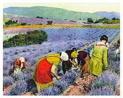 En Smak av Snus - Lavendel